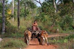 Skot zebu je v Kambodži tažné zvíře